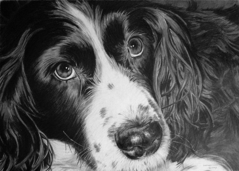 Floss the Springer Spaniel